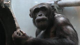 チンパンジー の『タロー』と『ヤマト』 (わんぱーくこうちアニマルランド) 2019年12月21日