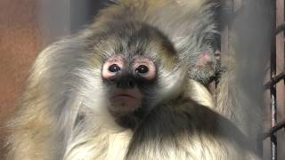 ジェフロイクモザル (仙台市八木山動物公園/セルコホーム ズーパラダイス八木山) 2018年1月20日