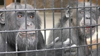 チンパンジーのお食事タイム (野毛山動物園) 2017年12月16日