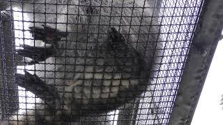 アライグマを真下から見上げてみよう (日立市かみね動物園) 2017年10月21日