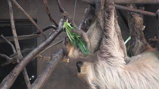 Baby Linnaeus's two-toed sloth (KOBE ANIMAL KINGDOM, Hyogo, Japan) April 23, 2021
