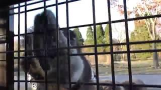 フタコブラクダ に餌やり体験 (富士サファリパーク・スーパージャングルバス) 2018年11月24日