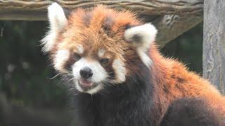 レッサーパンダ の『クウタ』 (千葉市動物公園) 2020年9月17日