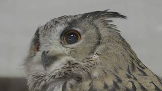 Turkmenian Eagle Owl (Fuji Kachoen Garden Park, Shizuoka, Japan) November 25, 2018