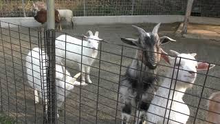 ヤギの丘 (しろとり動物園) 2019年3月1日