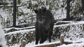 Japanese serow (Kobe Municipal Arboretum, Hyogo, Japan) January 12, 2021