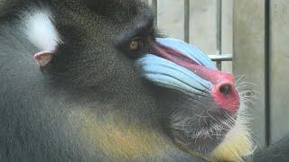 マンドリル の『ベンケイ』 (京都市動物園) 2020年9月1日