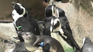 ケープペンギン (千葉市動物公園) 2020年9月17日