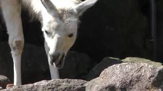 ラマ (伊豆シャボテン動物公園) 2018年4月22日
