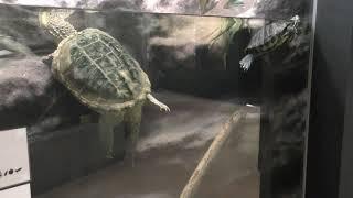 ミシシッピアカミミガメ と カミツキガメ (日立市かみね動物園・はちゅウるい館) 2018年12月4日