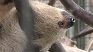 フタユビナマケモノ (王子動物園) 2018年9月16日