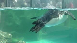 泳ぐオウサマペンギン (東武動物公園) 2018年3月31日