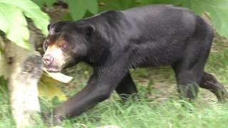 マレーグマ の『ハニイ』 (平川動物公園) 2018年7月29日