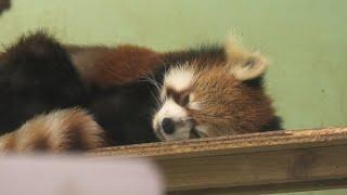 レッサーパンダ舎 (千葉市動物公園) 2020年9月17日