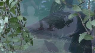 南米アマゾン川の淡水魚 (神戸どうぶつ王国) 2018年9月15日