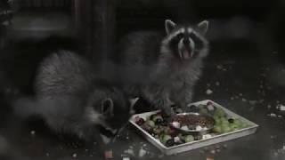 アライグマ のこどもたち (福知山市動物園) 2019年11月24日