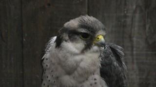 Lanner falcon (Fuji Kachoen Garden Park, Shizuoka, Japan) November 25, 2018