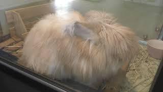 アンゴラウサギ (仙台市八木山動物公園/セルコホーム ズーパラダイス八木山) 2018年1月20日