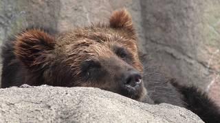 ヒグマ の『ゴロー』と『ピリカ』 (浜松市動物園) 2018年7月1日