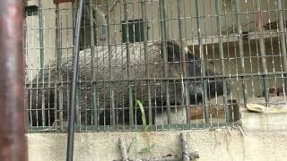 ニホンイノシシ の『ブーちゃん』 (福岡市動物園) 2019年4月23日