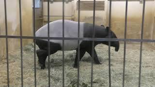 マレーバク の『ヒサ』 (東山動植物園) 2019年1月22日