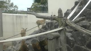 マントヒヒ と バーバリーシープ (鹿児島市 平川動物公園) 2019年4月17日