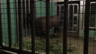 ラマ(上野動物園) 2017年8月9日