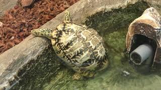 Indian star tortoise (TOBA AQUARIUM, Mie, Japan) January 1, 2018