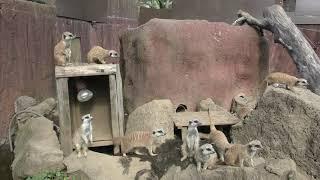 ミーアキャット (伊豆シャボテン動物公園) 2019年10月1日