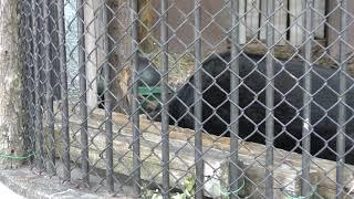ニホンツキノワグマ の『ツッキー』 (大牟田市動物園) 2019年4月19日