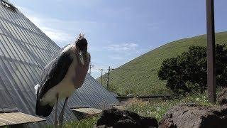 アフリカハゲコウ (伊豆シャボテン動物公園) 2019年10月1日