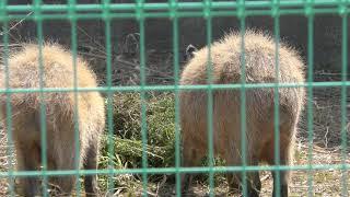 カピバラ (大牟田市動物園) 2019年4月19日