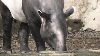 マレーバク の『カイム』と『ロコ』 (よこはま動物園 ズーラシア) 2020年9月16日