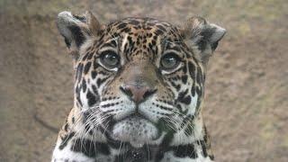 ジャガー の『ルナ』 (那須どうぶつ王国) 2020年9月14日