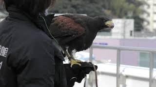 Harris's Hawk (TOBA AQUARIUM, Mie, Japan) December 25, 2020