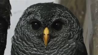 Black-banded owl (Fuji Kachoen Garden Park, Shizuoka, Japan) November 25, 2018