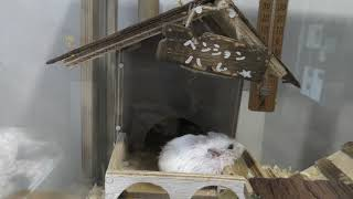 Hamster (Hakodate Park, Hokkaido, Japan) August 9, 2019