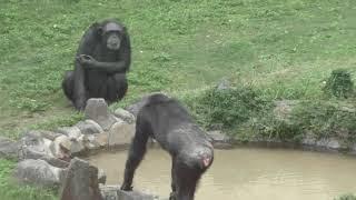 チンパンジー (王子動物園) 2019年10月27日