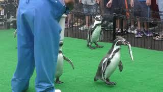 ペンギンのおさんぽタイム (越前松島水族館) 2019年8月19日