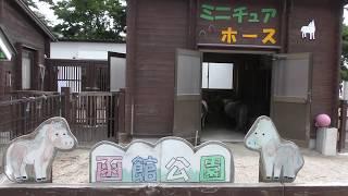 ミニチュアホース の『ラブ』と『サクラ』 (函館公園) 2019年8月9日