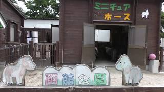 Miniature horse (Hakodate Park, Hokkaido, Japan) August 9, 2019