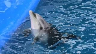 バンドウイルカ (大分マリーンパレス水族館 うみたまご) 2019年12月5日