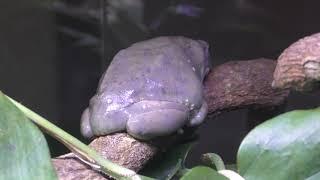メキシコフトアマガエル (体感型カエル館 kawazoo【カワズー】) 2019年9月30日