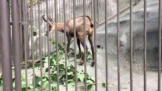 シャモアの食事風景 (多摩動物公園) 2017年8月27日