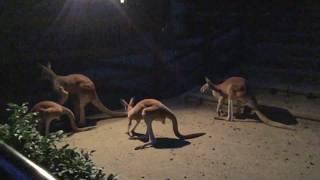 夜の元気なアカカンガルー (多摩動物公園) 2017年8月27日