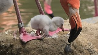 Baby Flamingo (Oji Zoo, Hyogo, Japan) August 4, 2020