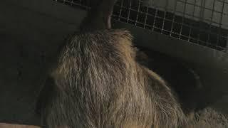 フタユビナマケモノ の『ビリー』 (とくしま動物園) 2019年3月2日
