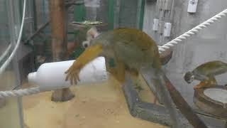 Common Squirrel Monkey (Sapporo Maruyama Zoo, Hokkaido, Japan) February 12, 2018