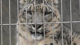ユキヒョウ の『ユキチ』と『リアン』 (東山動植物園) 2019年1月22日