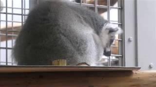 Ring-tailed lemur (Sapporo Maruyama Zoo, Hokkaido, Japan) February 12, 2018